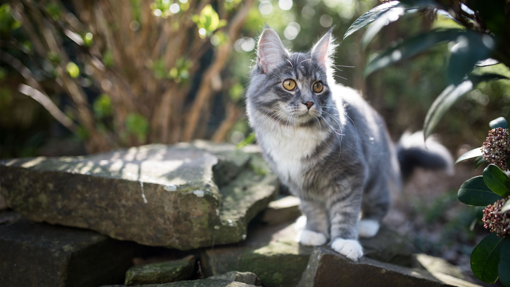 A grey cat is sat on a wall outside.