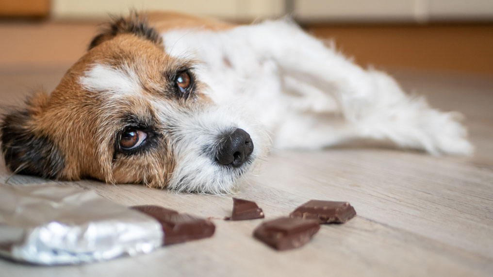 A dog on the floor after eating chocolate.