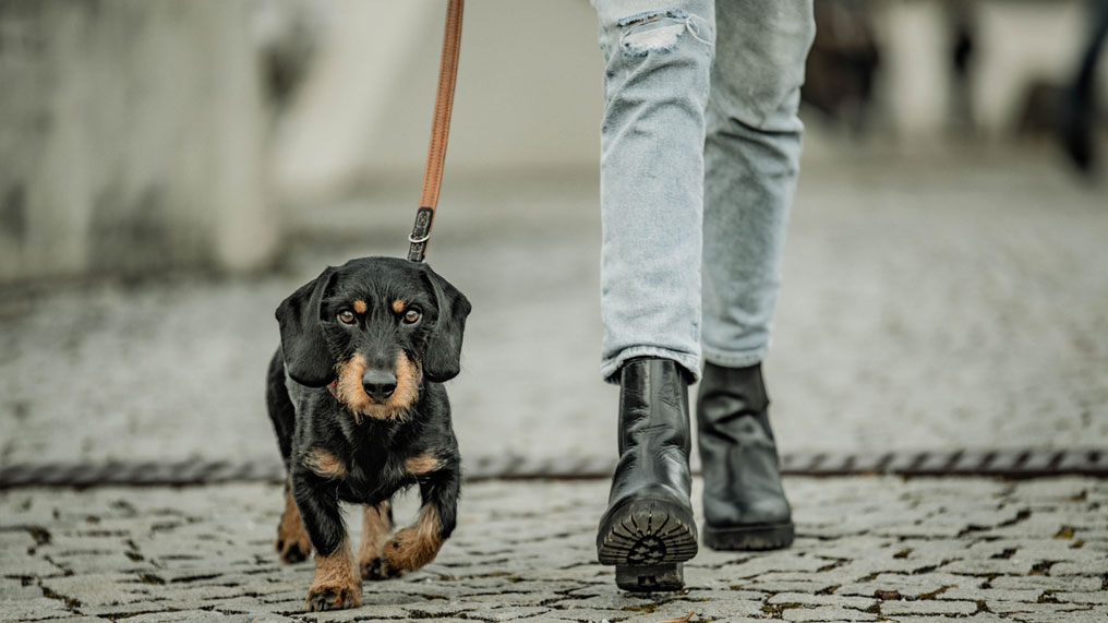 A dog is walked by its owner.