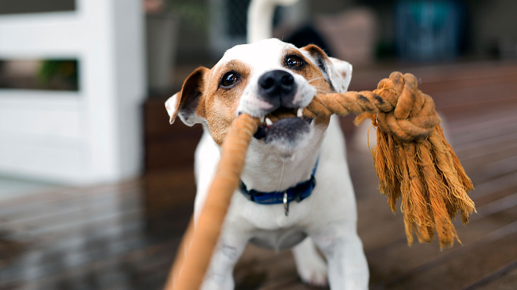 A dog pulls on a rope.