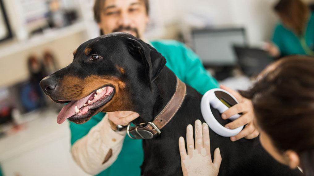 A vet checks a dog's microchip.