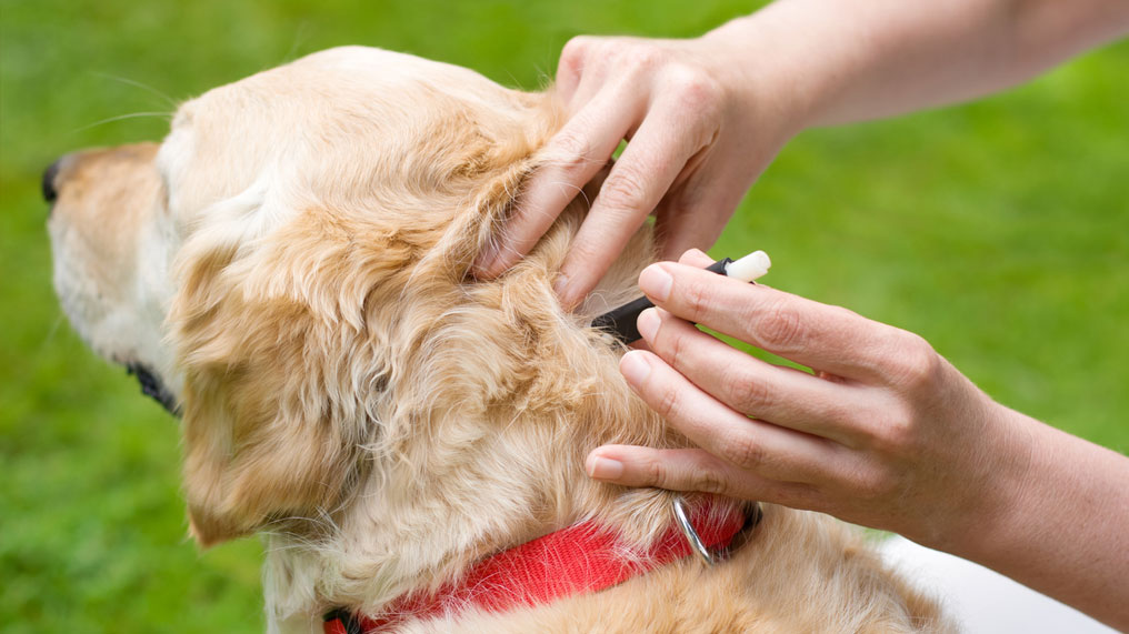A dog has a tick removed from the back of its neck.