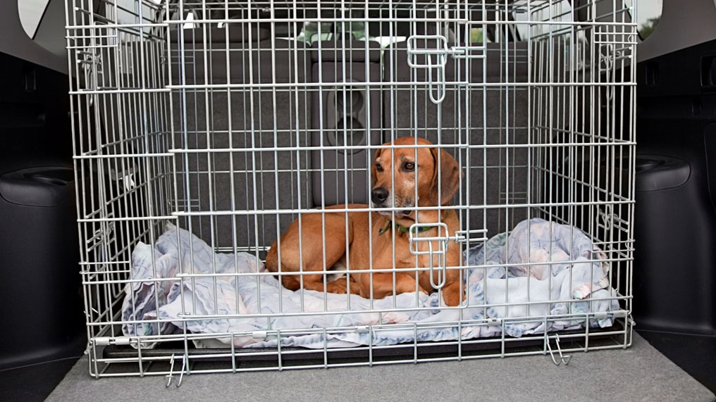 A dog is safe in a cage in the boot of a car.