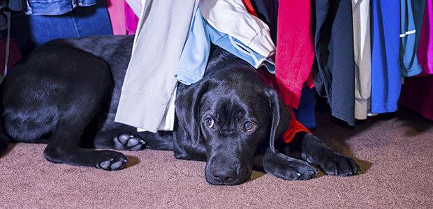 Black Labrador sitting underneath some clothes looking concerned