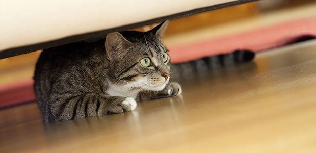 Tabby cat hiding underneath a bed on a wooden floor