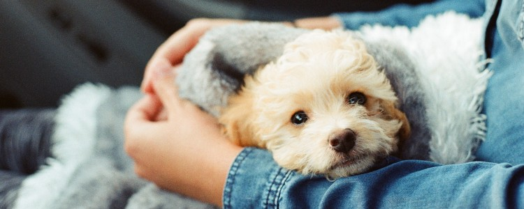 Sick dog in lap