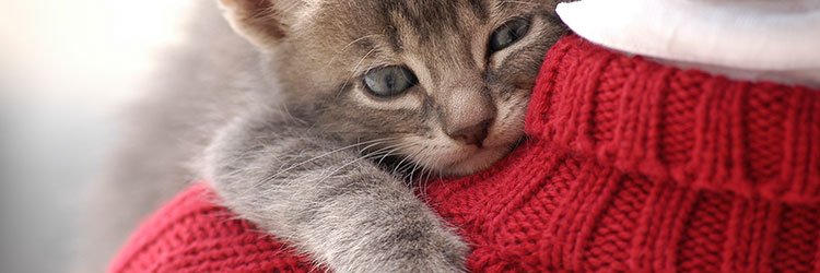 Kitten cuddling on the shoulder of a person's jumper