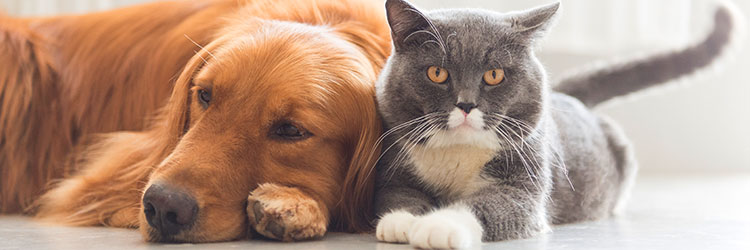 Cat and Golden Retriever lying down together on the carpet